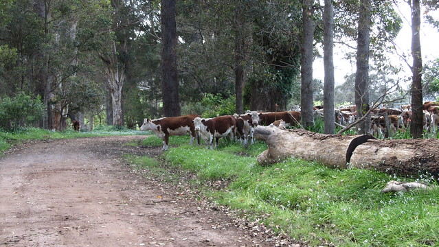 Day 35: negotiating cattle