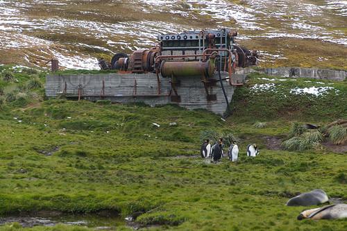 428 Koningspinguins bij Grytviken