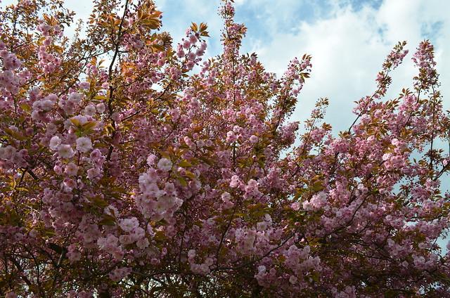 Berlin Cherry Blossom Festival Kirschbluetenfest Gaertens der Welt Erholungspark Marzahn_blooming cherry blossoms and blue sky