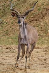 animal, antelope, mammal, horn, hartebeest, fauna, kudu, impala, safari, gazelle, wildlife,
