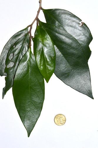 Cleistanthus discolor DSC_0478 (4)