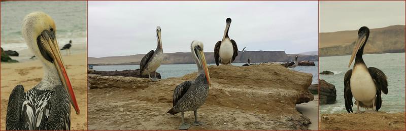 Pelicans, Paracas