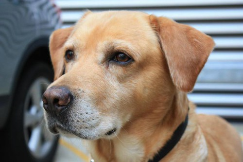 Sam is a Labrador who retired after serving with the Brigade for seven years.