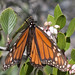 Monarch_Butterfly_Male_at_CoyoteHills_5878b