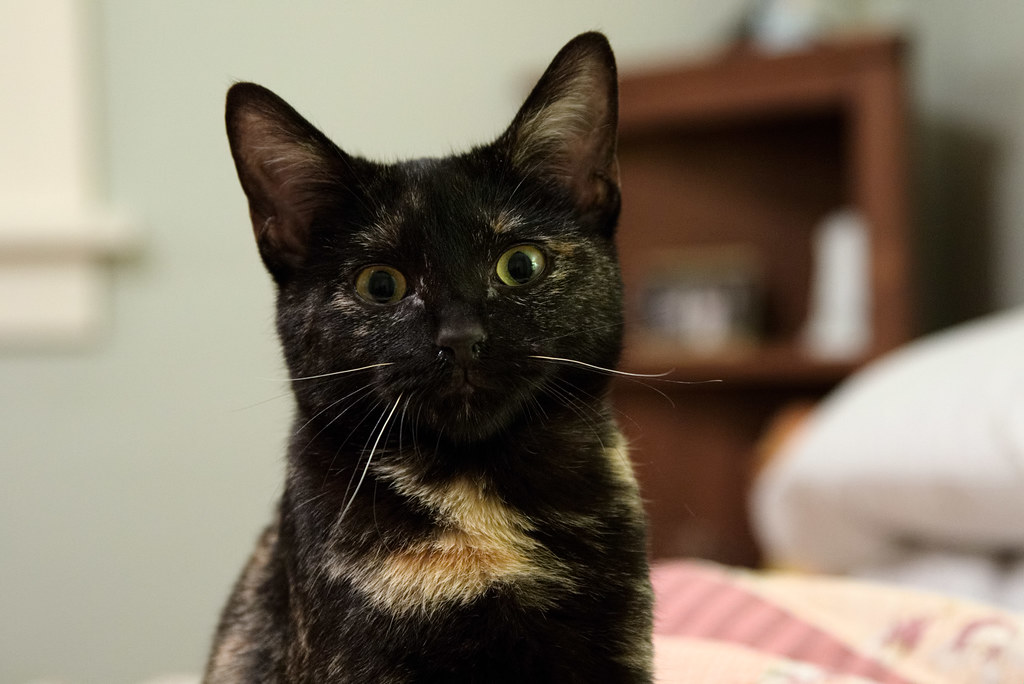 Our kitten Trixie, a female tortoiseshell shorthaired cat