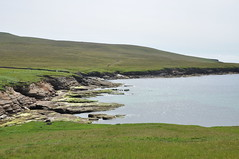 Seals at the Shetland Is