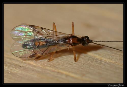 Braconidae/Rogadinae