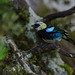 Golden-hooded Tanager. Tim Melling.