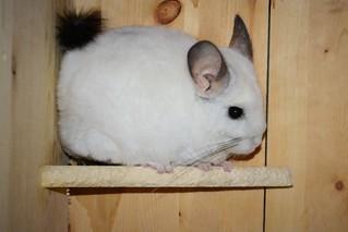 Neneko on a Very Chewed Up Shelf