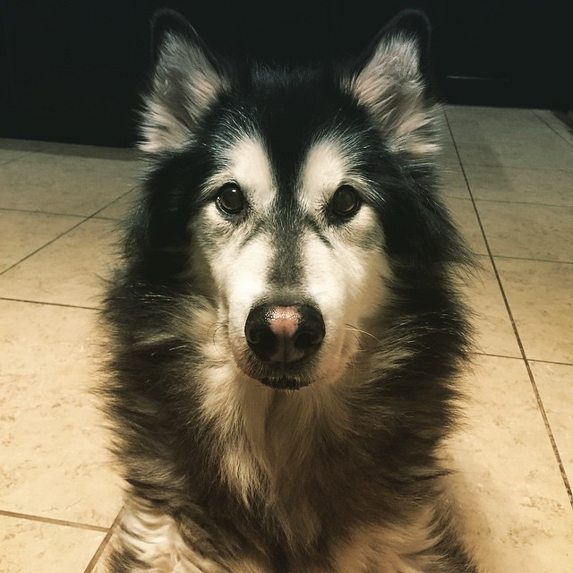 Old man malamute. by bartlewife