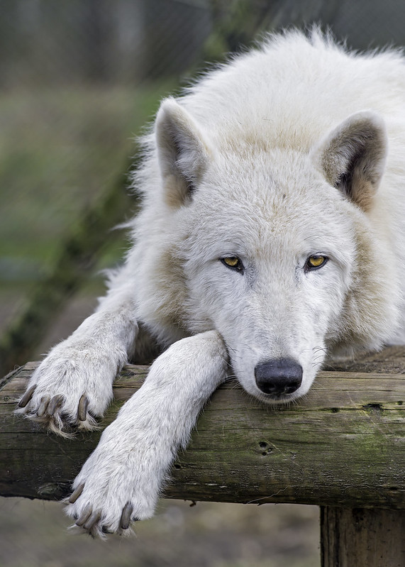 Bored actic wolf!