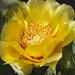 Prickly Pear Cactus in Flower by Shotaku
