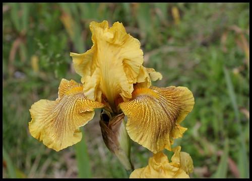 Iris 'Rio de Oro' - Plough 1983 27078432323_c570338a28