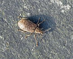 Polydrusus pilosus