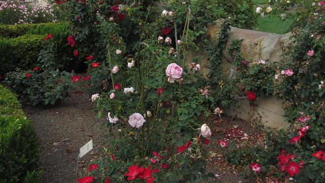 IMG_8876 Santa Barbara Postel garden Arrilaga rose
