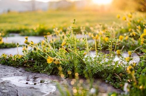 sunlight flower vermont blossom bloom stowe goldenhour