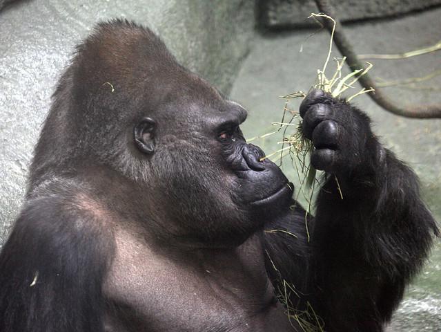 Gorilla 20130510