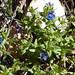 Anagalis arvensis subsp. foemina, Blue Pimpernel (Dawn Balmer)