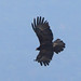 Black Eagle (Tim Melling)