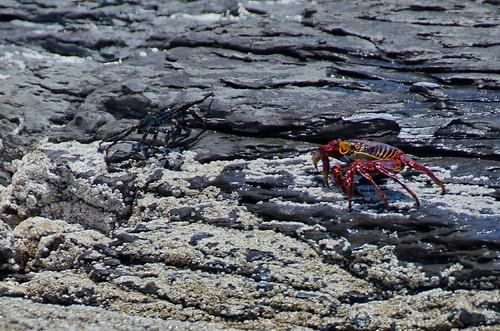 sally lightfoot crab, Loreto, Mexico