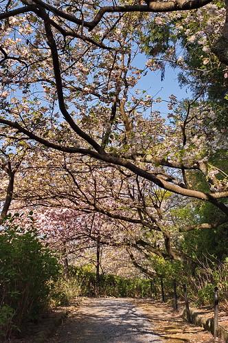 【写真】2013 桜 : 梅宮大社/2019-06-14/IMGP0214