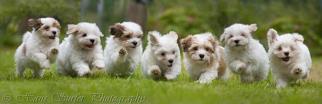 7 running Havanese puppys in a row!