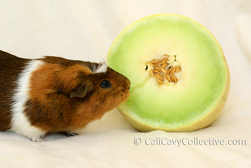 Can guinea pigs eat honeydew melon? Truffle says yes!