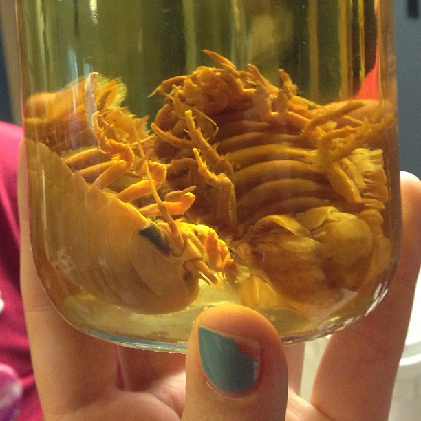 Giant deep sea isopods pickled in formalinGiant Isopod Edible