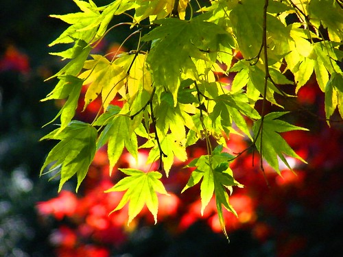 Sunny Autumn Maple Leaves