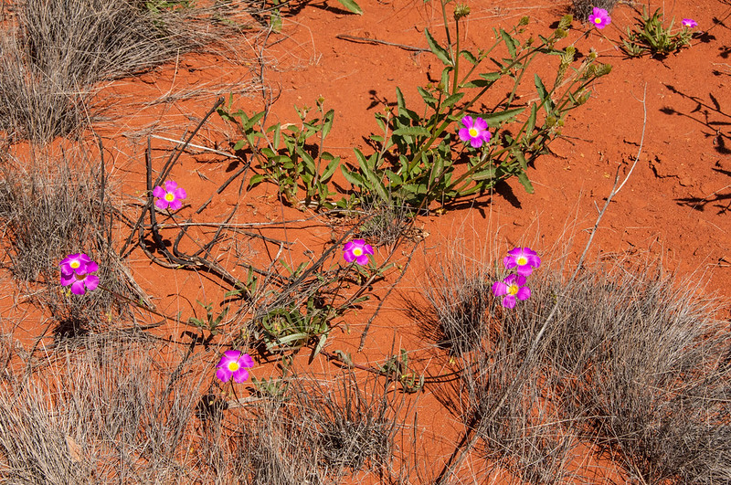 Parakeelya flowers