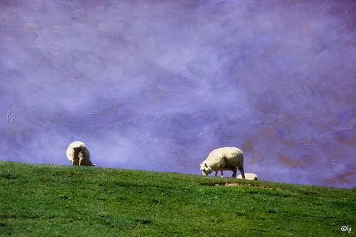 hapephotographix neuseeland newzealland aotearoa nuevazelanda südinsel southisland islasur otago 554nzl 554nsi nikonf80 analog landscape landschaft sheep scahf borego textureblending dsplyys