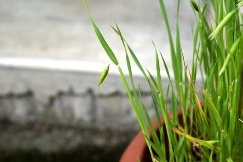 ネコ草栽培