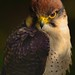 © Falcon Portrait © by ~ WessexWill ~