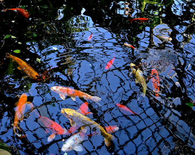 Reflections - Koi - Garfield Park Conservatory - Chicago IL - Explore '14 #318