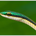 Leptophis mexicanus - Mexican Parrot Snake by J. Amorin
