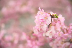 河津桜の淡いピンク