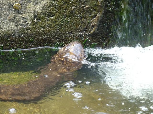 堤の端に出ていたオオサンショウウオ.息継ぎのために水面から鼻先を出している.