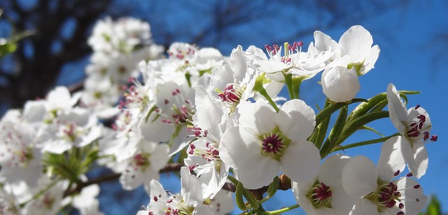Bradford pear flowers, Hodges, South Carolina, sooc