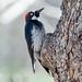 3-12-14 Acorn Woodpecker - Arizona-157.jpg by gblkrum1