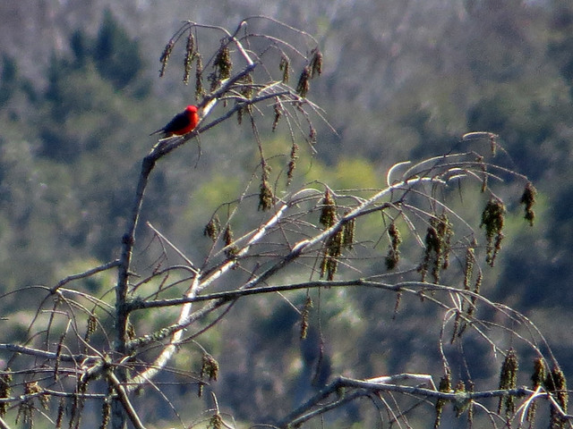 Vermilion Flycatcher record shot