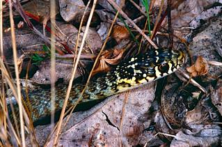 Western Whip Snake (Hierophis viridiflavus) juvenile (Found by Jean NICOLAS)