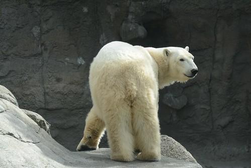 Eisbärin Malik im Aalborg Zoo