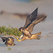 Peregrine Falcon Siblings on Beach by Joshua.Tillman