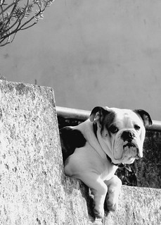 Dog-on-a-roof