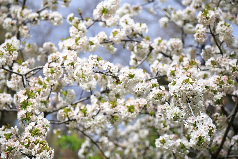 ceriser blanc en fleurs madrid