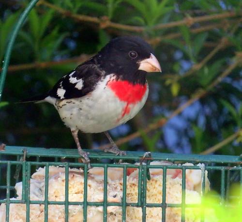 red breasted grosbeak