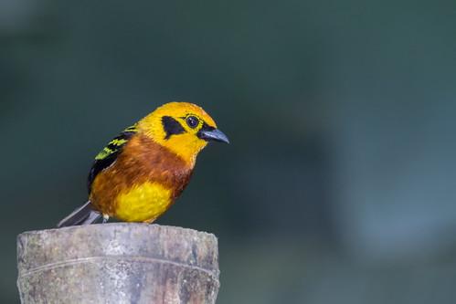 birds venezuela aves yaracuy tangaraarthus goldentanager bruzual tangaradorada