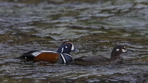 bird nature birds duck wildlife harlequin histrionicushistrionicus hítarvatn straumönd straumendur