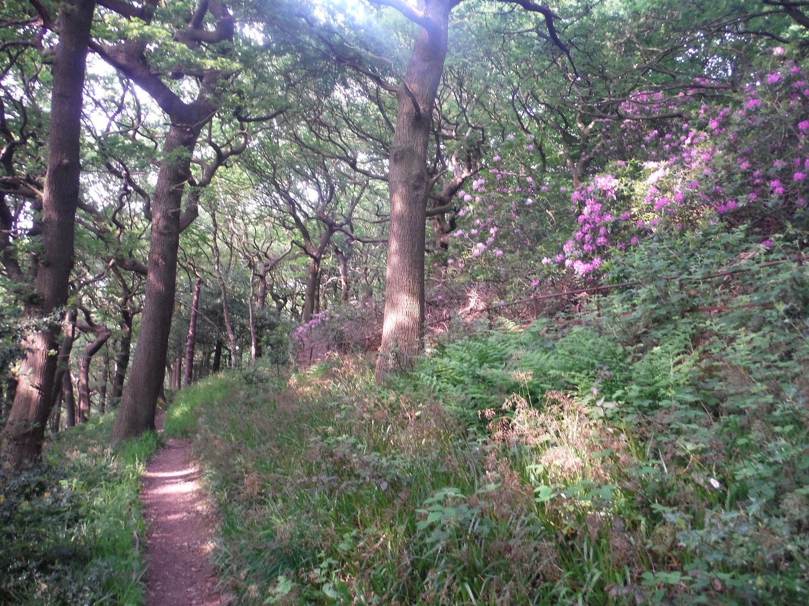 Path in Ladies' Spring Wood SWC Walk 267 - Sheffield Circular (via Porter, Limb, Sheaf and Gleadless Valleys)