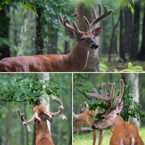 These bucks didn't mind being shot today! #wildlifephotography #wildlife #deer #whitetaildeer #nicerack #pa #pawildlife #pafishandgamecommission